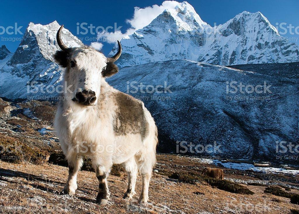 yak on pasture and ama dablam peak royalty-free stock photo