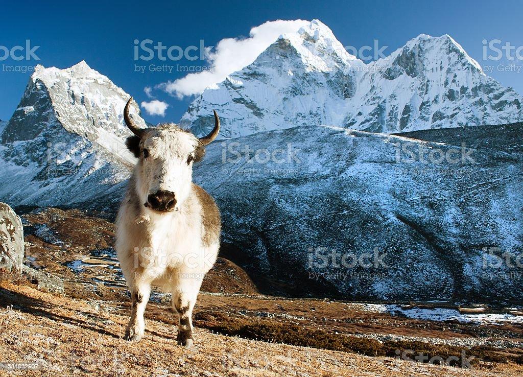 yak on pasture and ama dablam peak stock photo