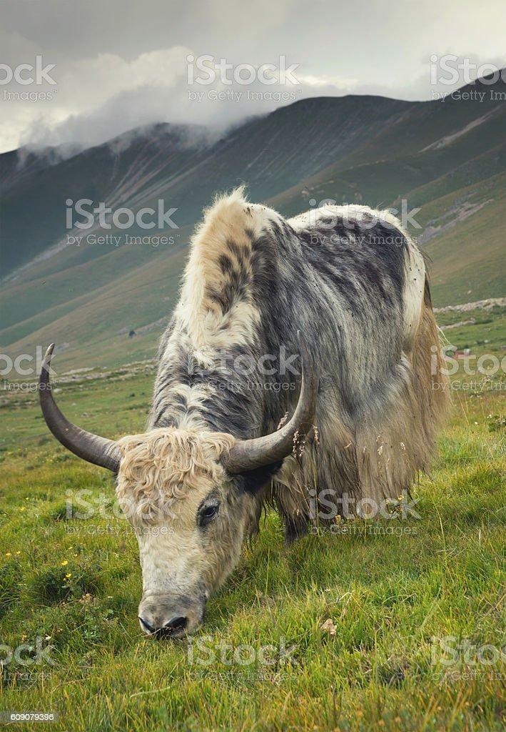 Yak on the mountain field stock photo
