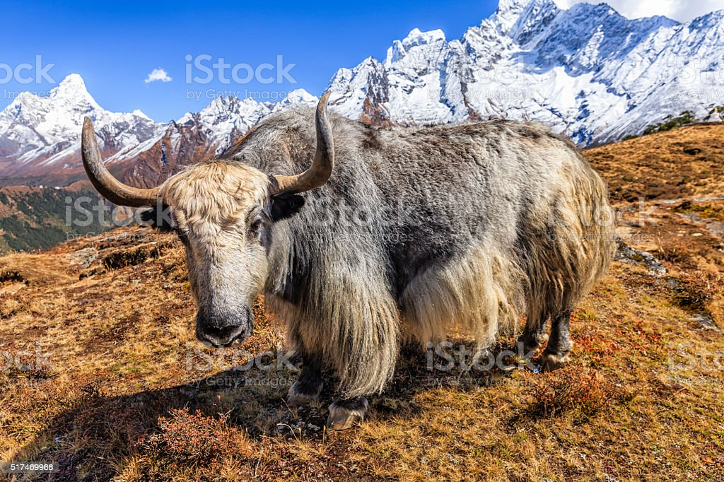 Yak on the trail, Mount Ama Dablam on background, Nepal stock photo