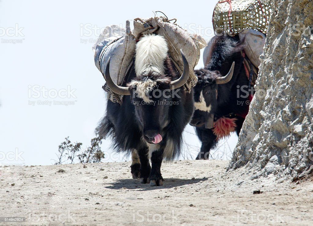 Yak on the trail near Everest Base Camp in Nepal stock photo