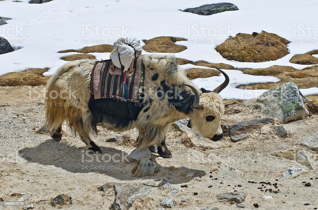 Yak on the trail near Everest Base Camp, Nepal stock photo