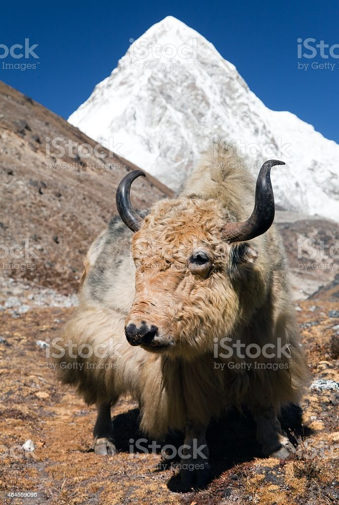 Yak on the way to Everest base camp stock photo