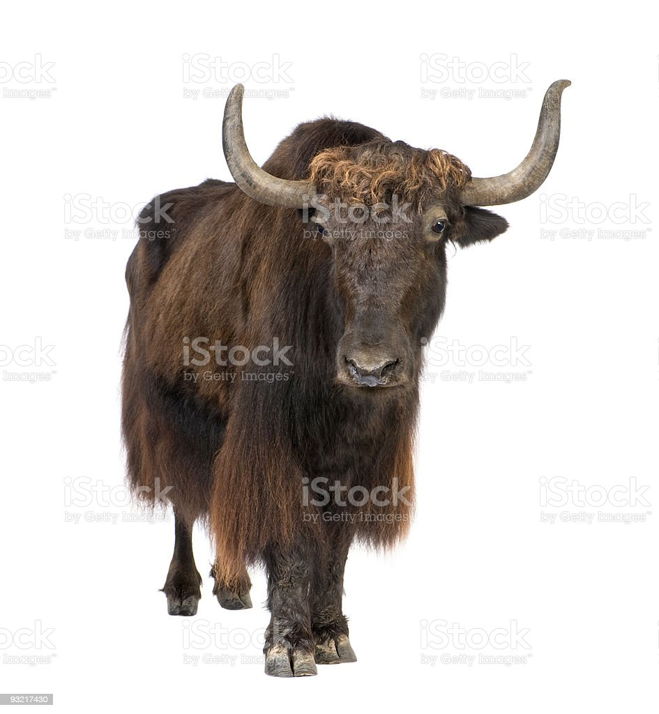 Yak on white background looking into camera stock photo