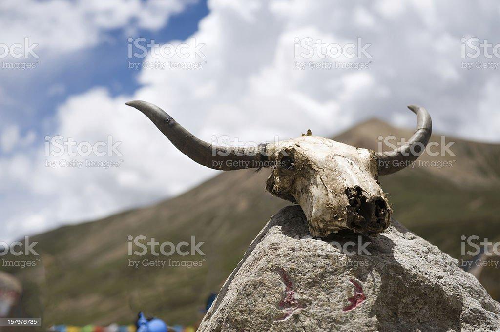 Yak skull  with  prayer royalty-free stock photo
