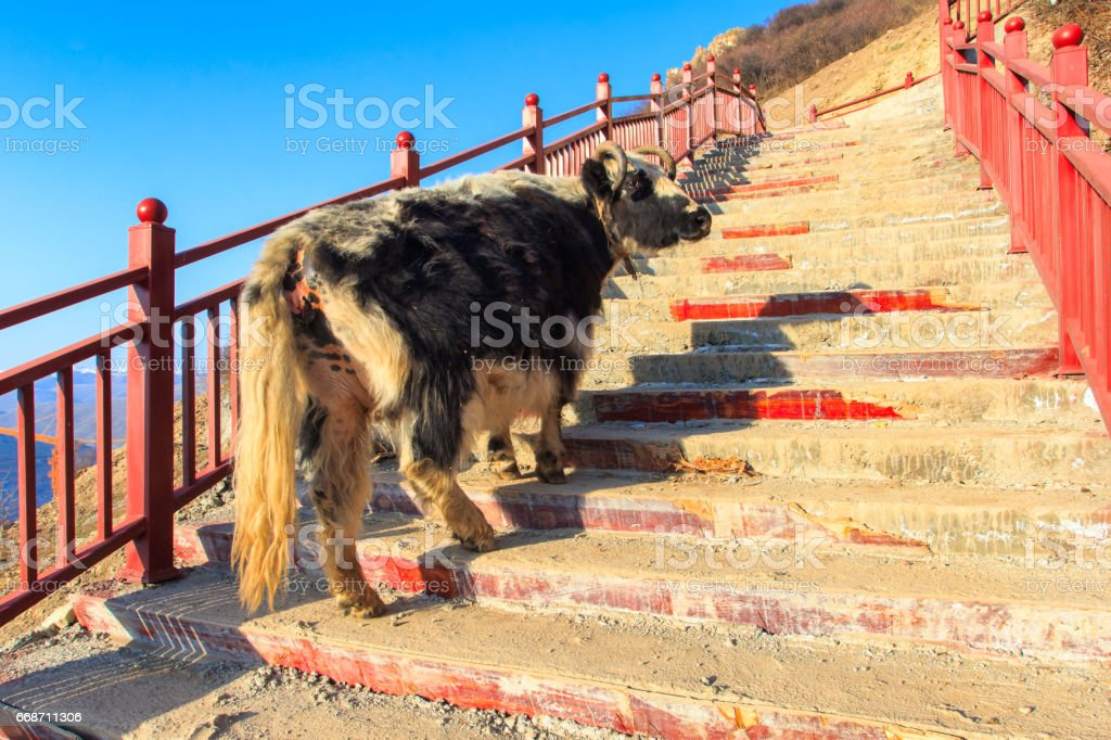 Yak walk up on stairway at Larung gar (Buddhist Academy) in sunshine day and background is blue sky, Sichuan, China stock photo