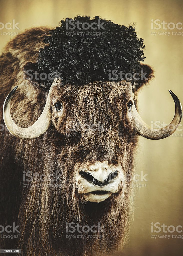 Yak With Wig stock photo