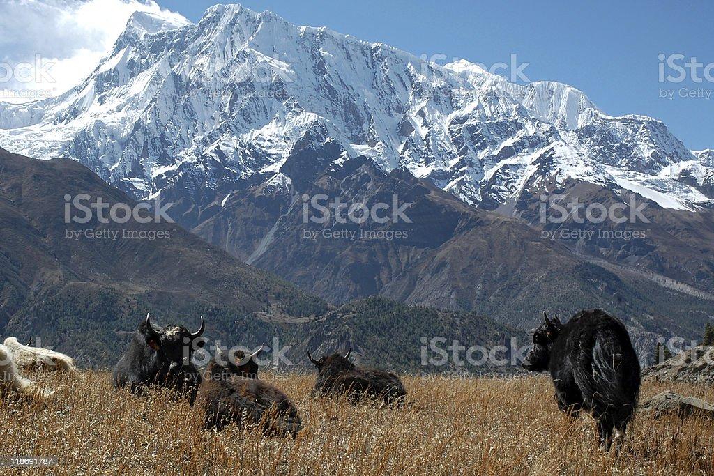 Yaks and Annapurna III Peak stock photo
