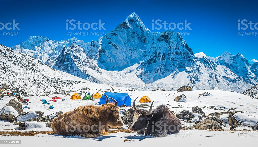 Yaks at Himalayan high camp below snowy mountain peaks Nepal stock photo