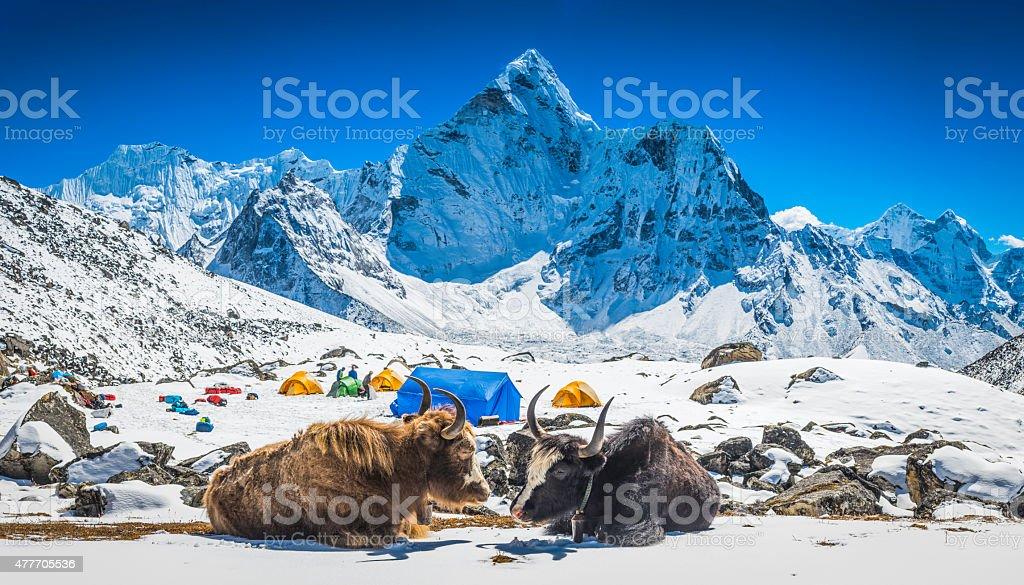Yaks at Himalayan high camp below snowy mountain peaks Nepal stock photo