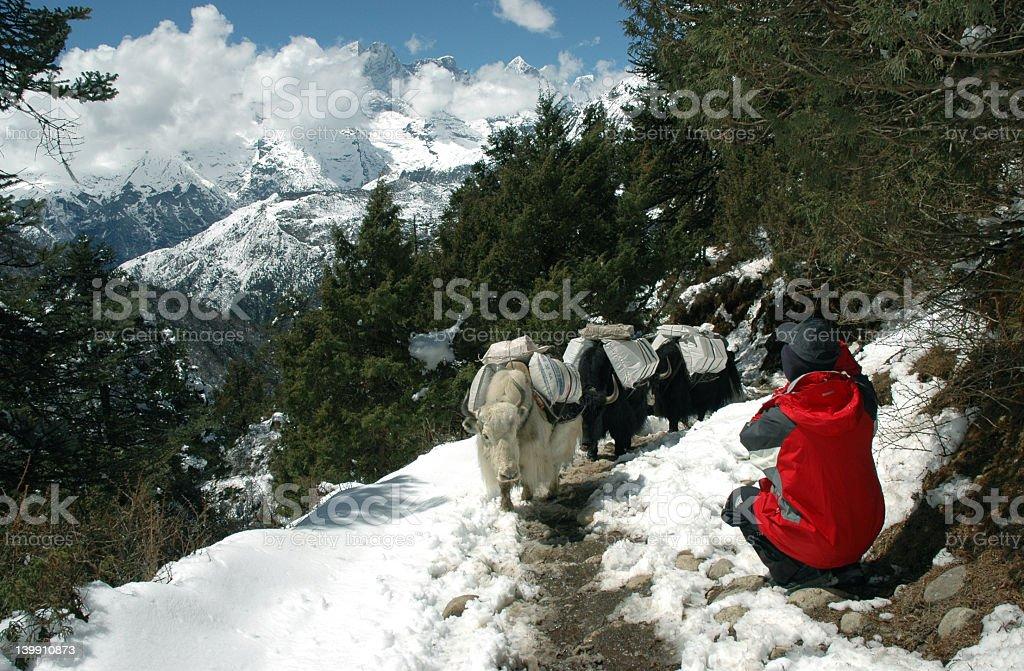 Yaks caravan and trekker in the Himalaya royalty-free stock photo