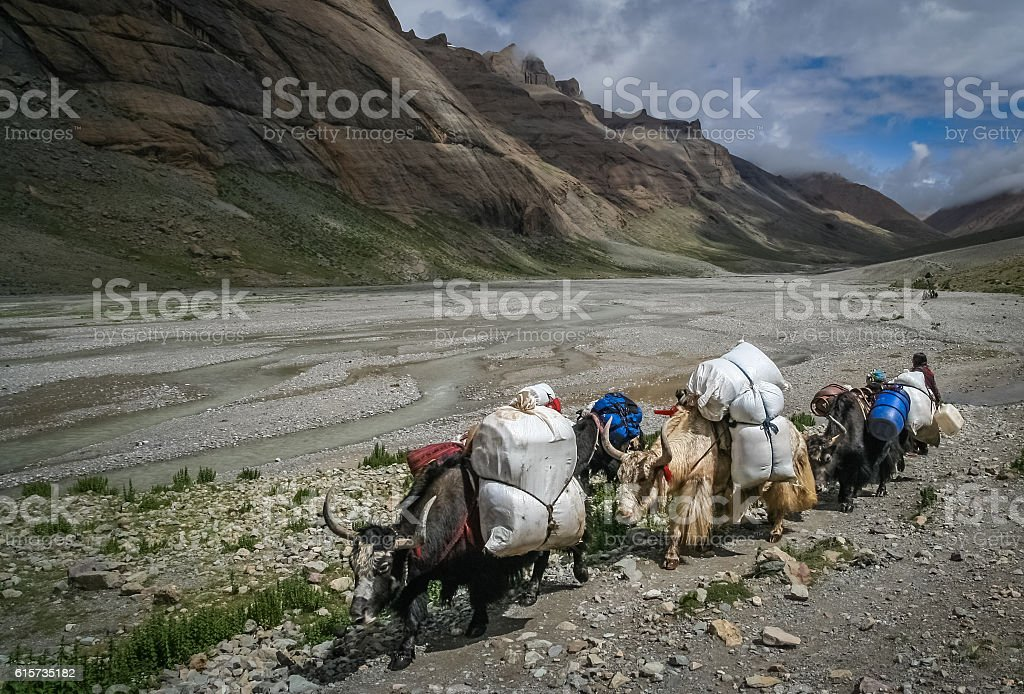 Yaks carrying goods and supplies stock photo