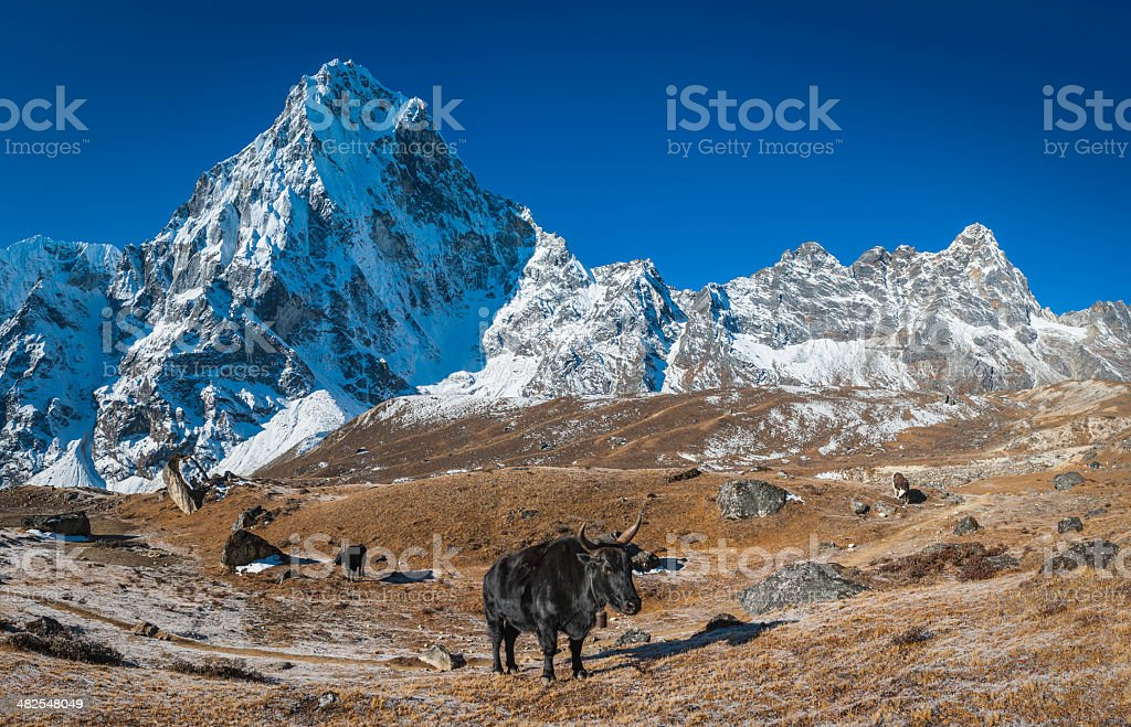 Yaks dzomo in high pasture beneath Himalaya mountain peaks Nepal royalty-free stock photo