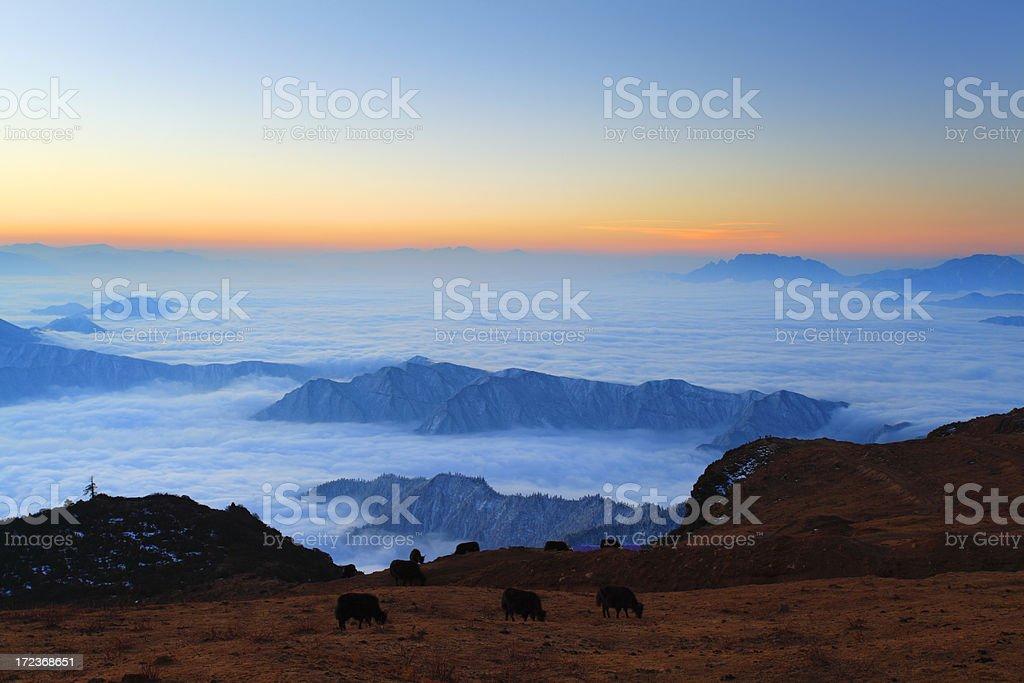 Yaks grazing on pasture stock photo