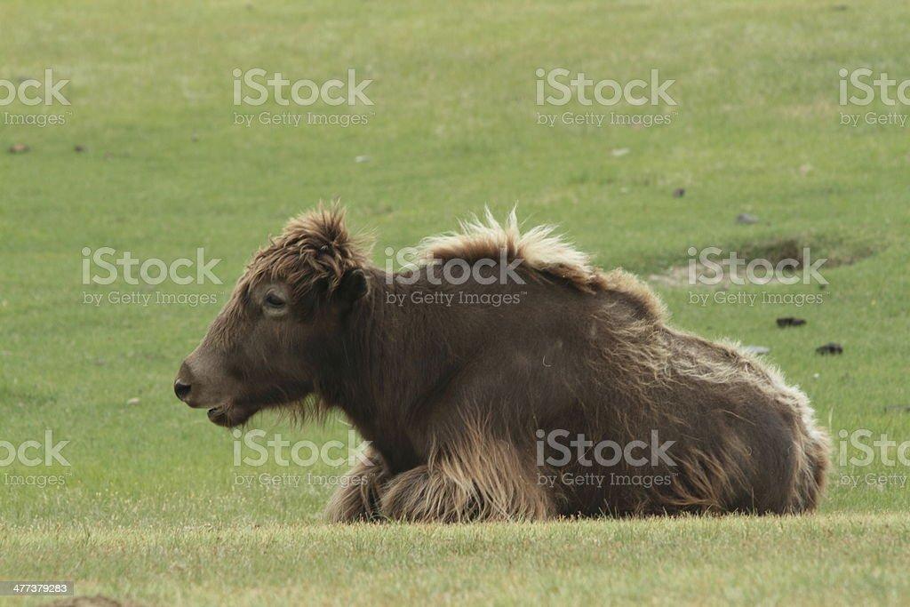 Yaks in der Mongolei stock photo
