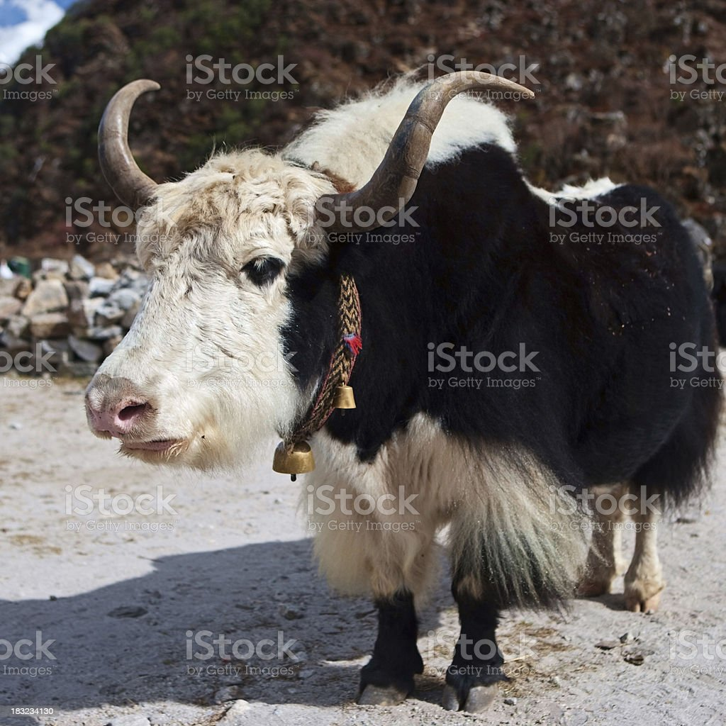 Yaks in Himalayan village, Mount Everest National Park royalty-free stock photo