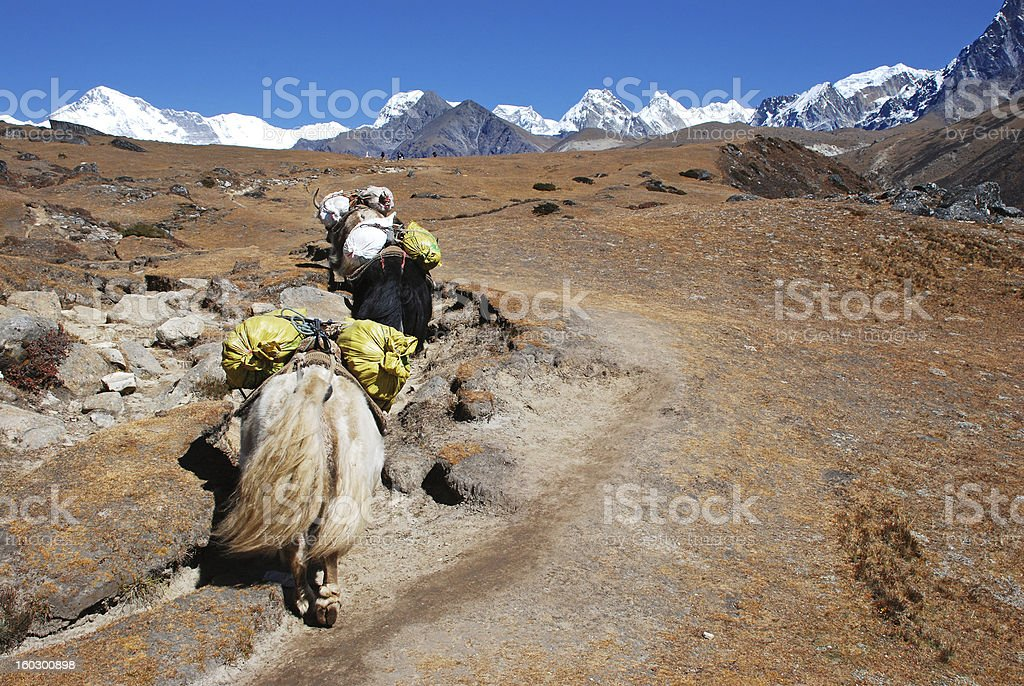 Yaks in Himalayas royalty-free stock photo
