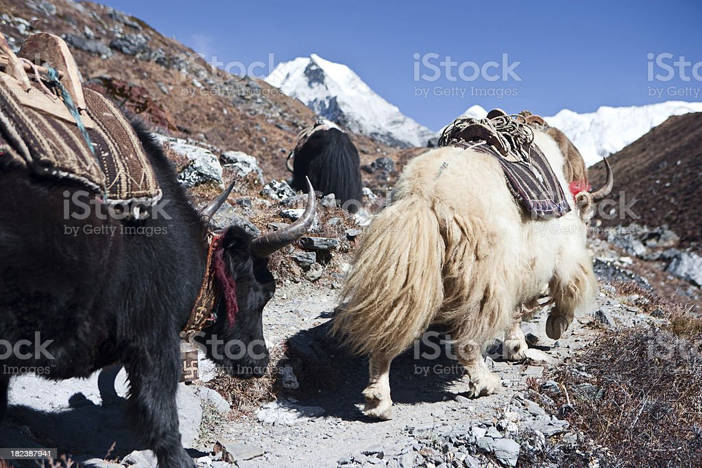 Yaks on the trail royalty-free stock photo