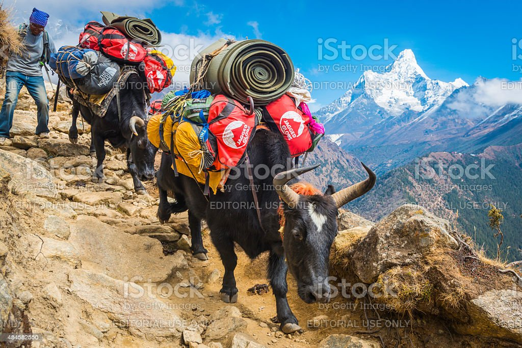 Yaks Sherpa driver carrying expedition kit Everest trail Himalayas Nepal stock photo