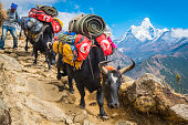 Yaks Sherpa driver carrying expedition kit Everest trail Himalayas Nepal