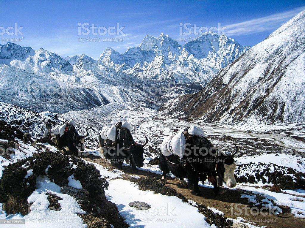 Yaks with blue sky and snow mountain stock photo