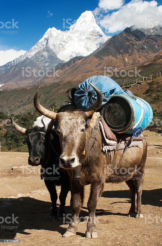 yaks with goods and Ama Dablam royalty-free stock photo