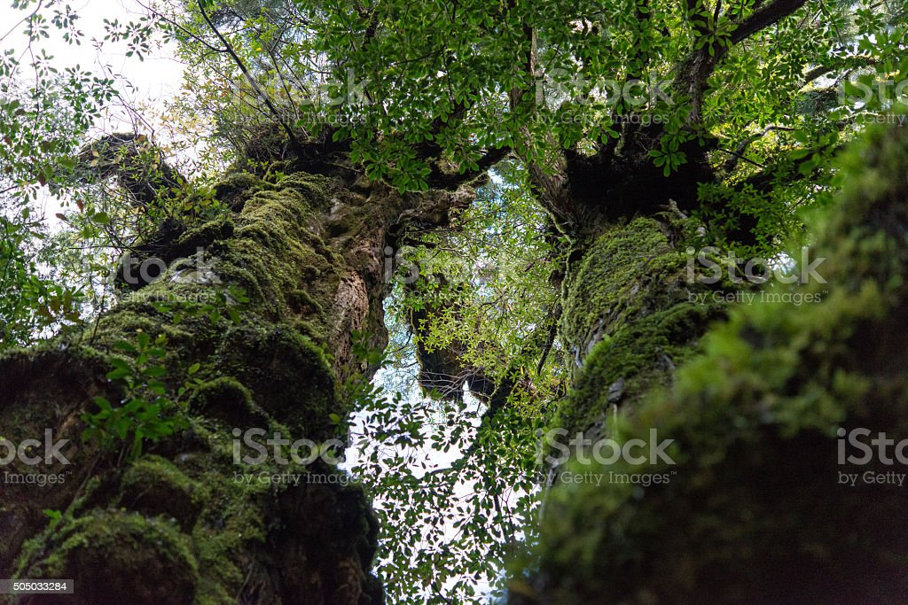 Yaku ceder tree Yakushima stock photo