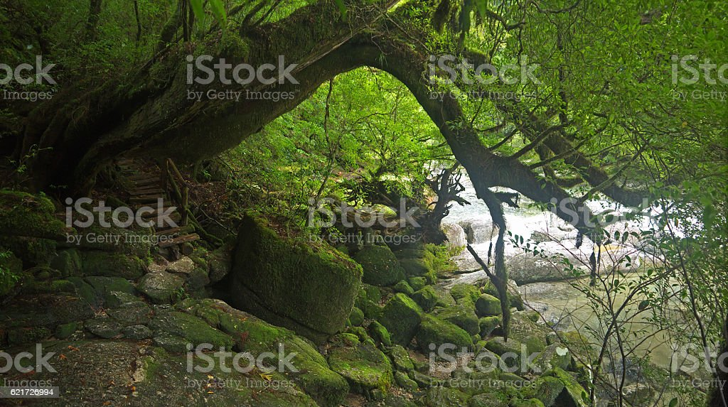 Yakushima green forest stock photo