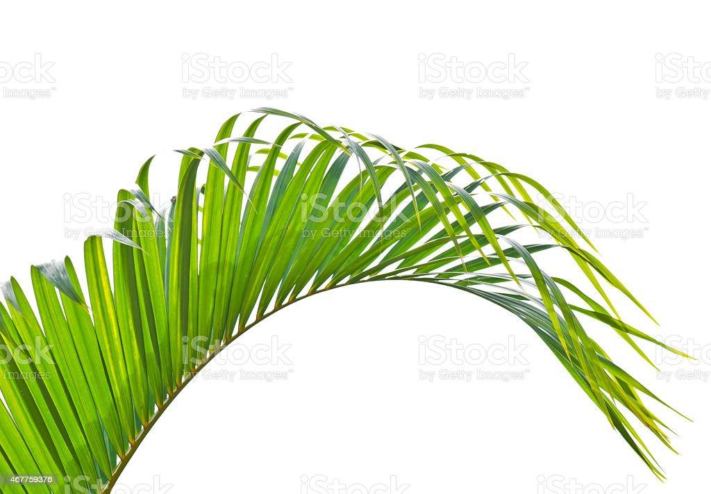 Yallow palm (Chrysalidocarpus lutescens.) leaves. stock photo