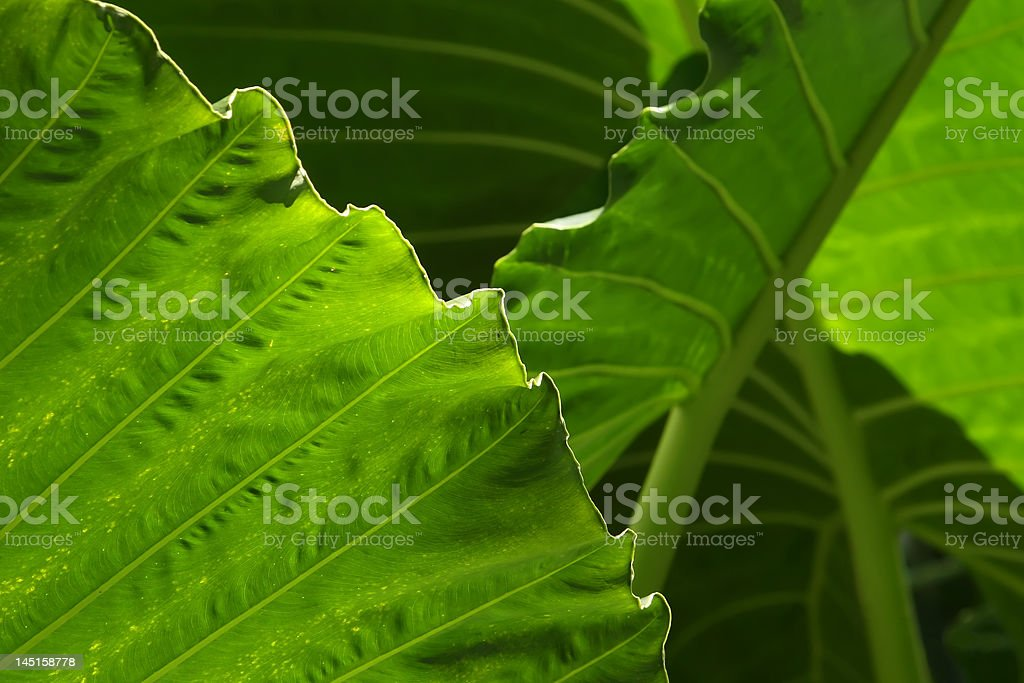Yam Leaves Close-up royalty-free stock photo