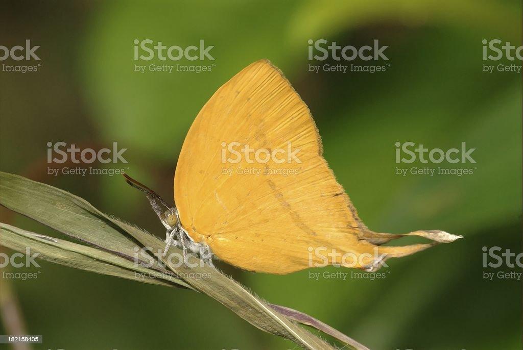 Yamfly (Loxura atymnus) in Singapore stock photo