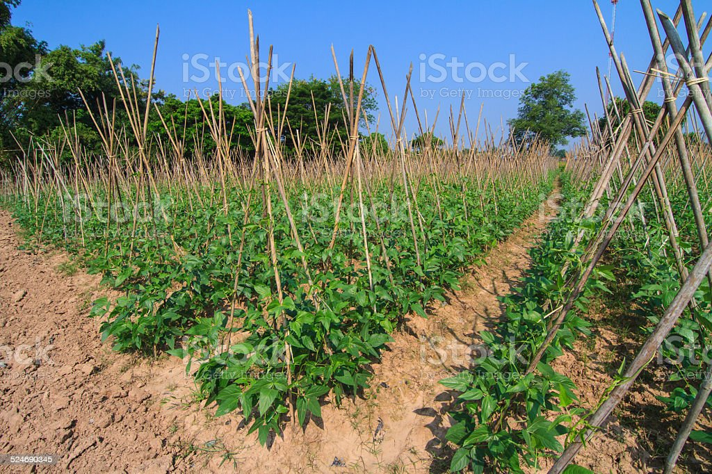 Yard long bean growing on bamboo  scaffolding against blue sky stock photo