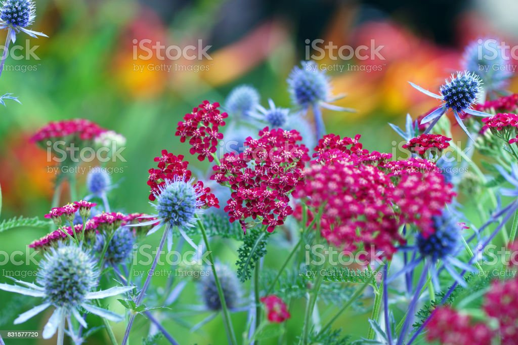 Yarrow and echinops bannaticus stock photo