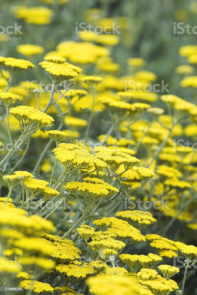 Yarrow flowers (Achillea millefolium) - II royalty-free stock photo