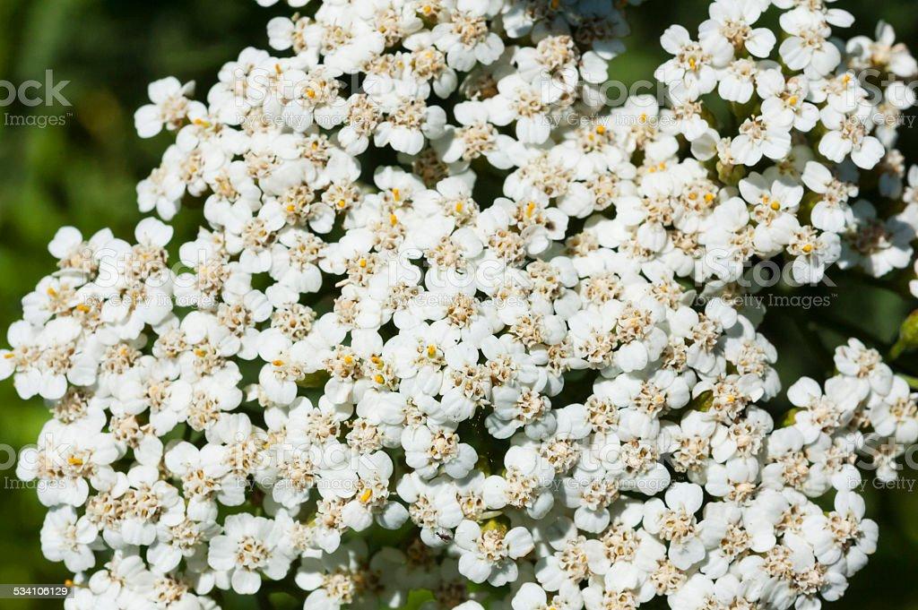 yarrow flowers, macro, Achillea millefolium stock photo