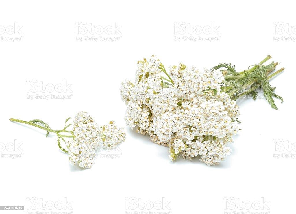 yarrow flowers stock photo