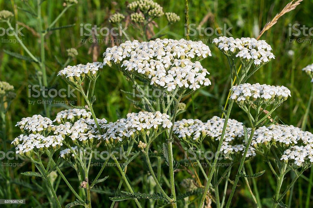 Yarrow grows on the meadow stock photo