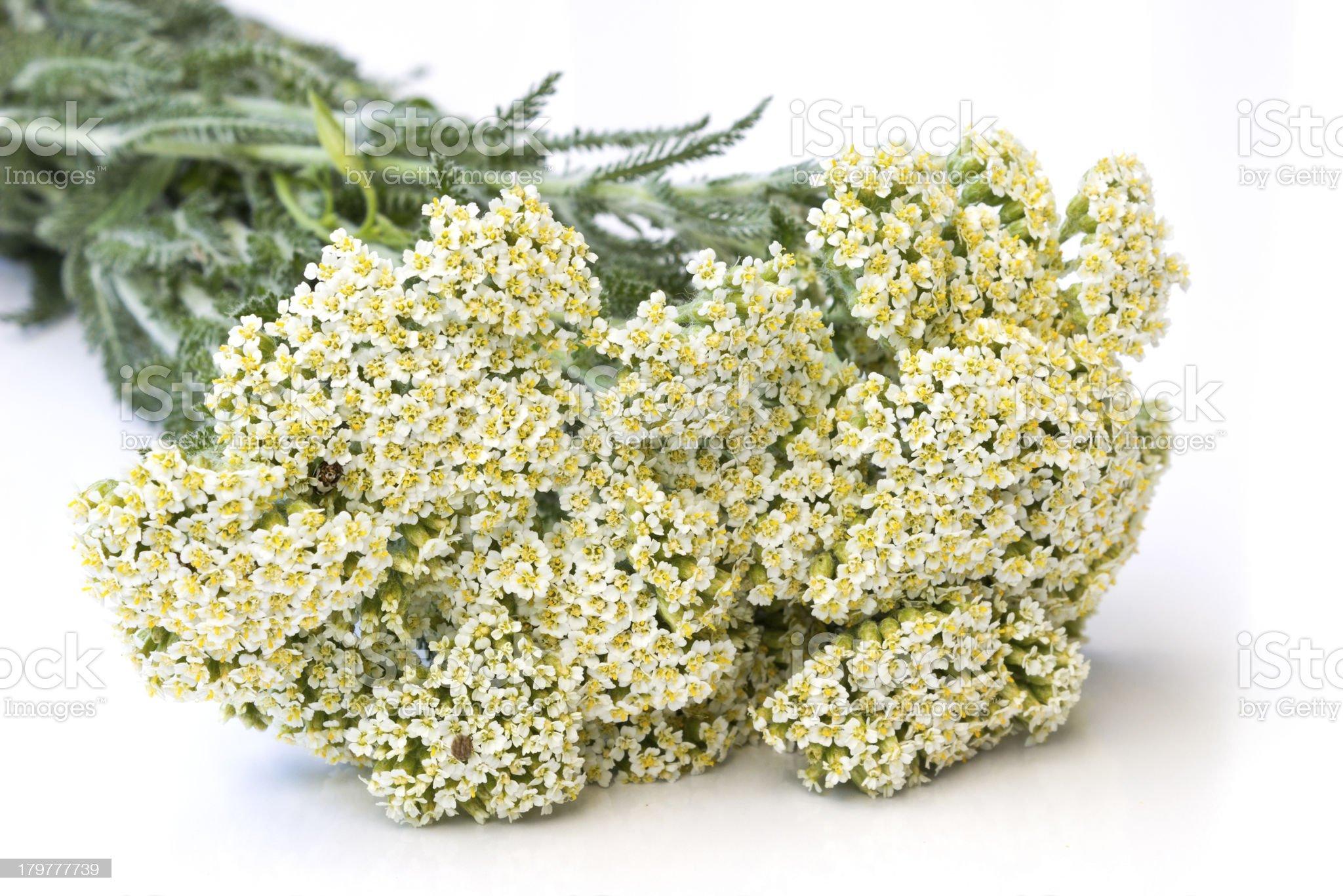 Yarrow herb royalty-free stock photo