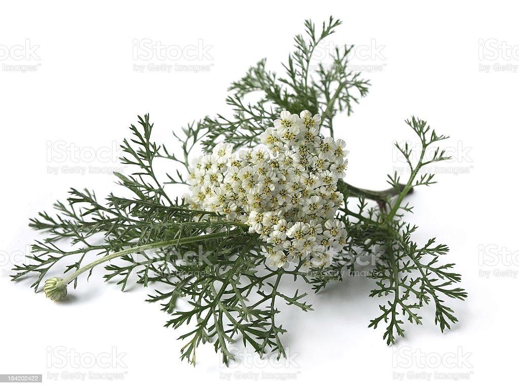 Yarrow (Achillea Millefolium) stock photo