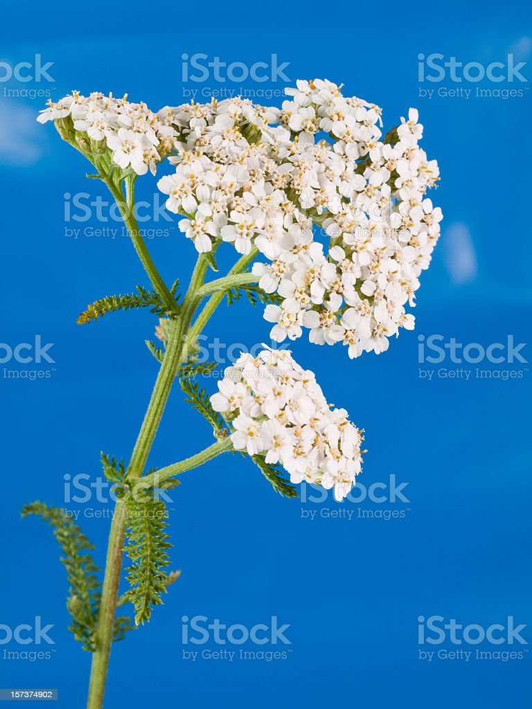 Yarrow royalty-free stock photo