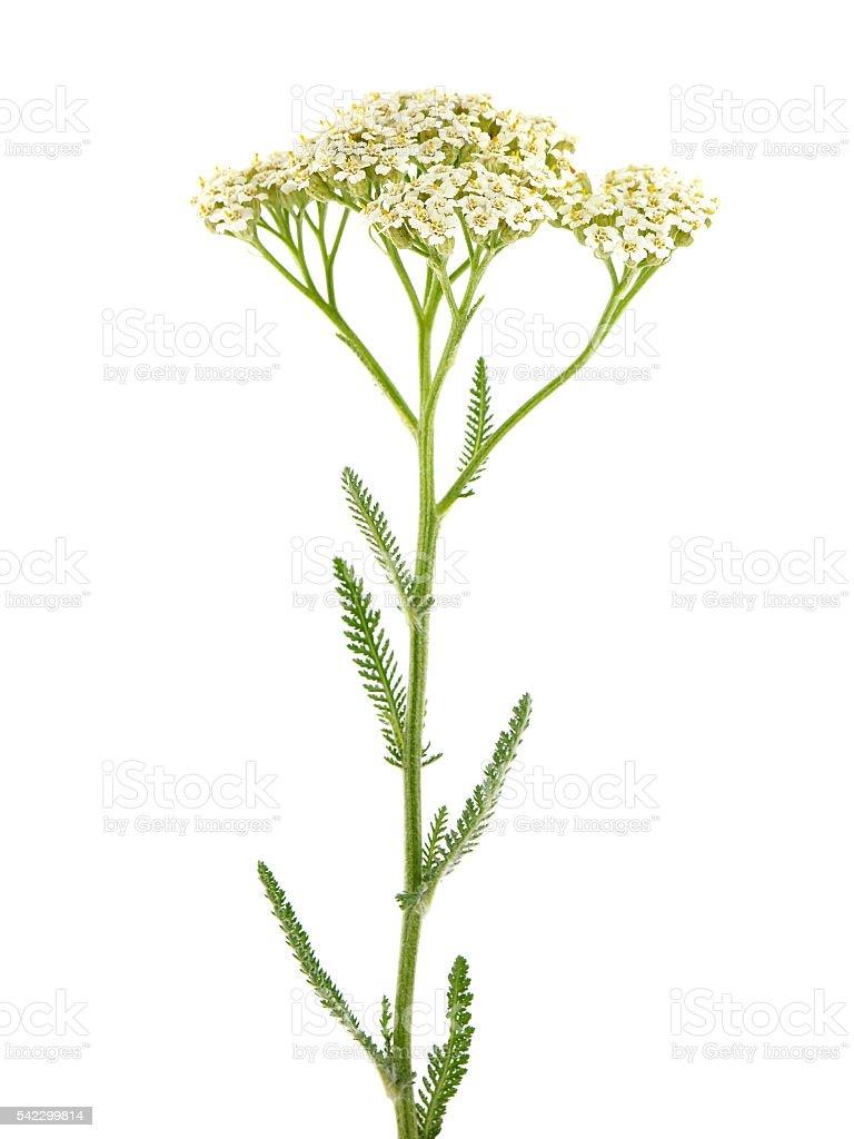 Yarrow plant (Achillea millefolium ) stock photo