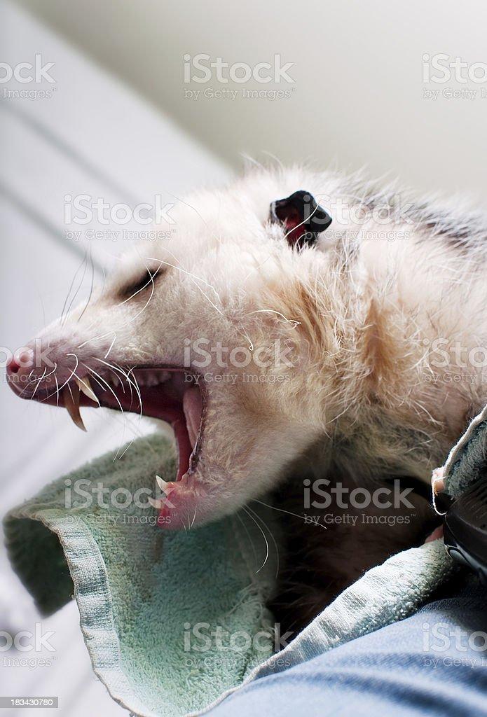 Yawn! royalty-free stock photo