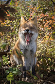 Yawning autumn fox in colorful forest