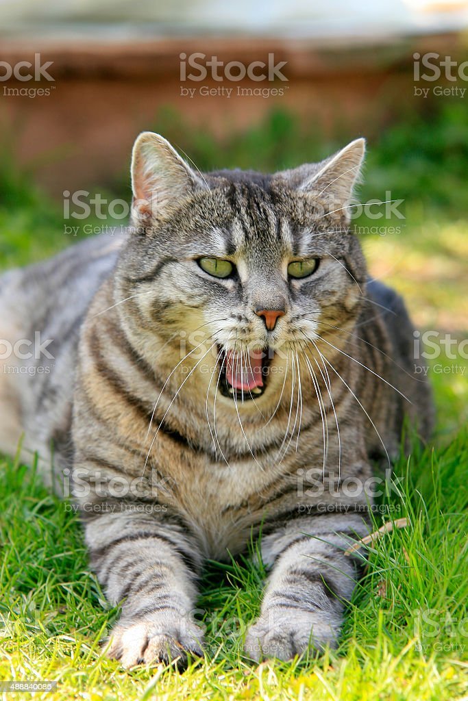 G?hnende Katze stock photo
