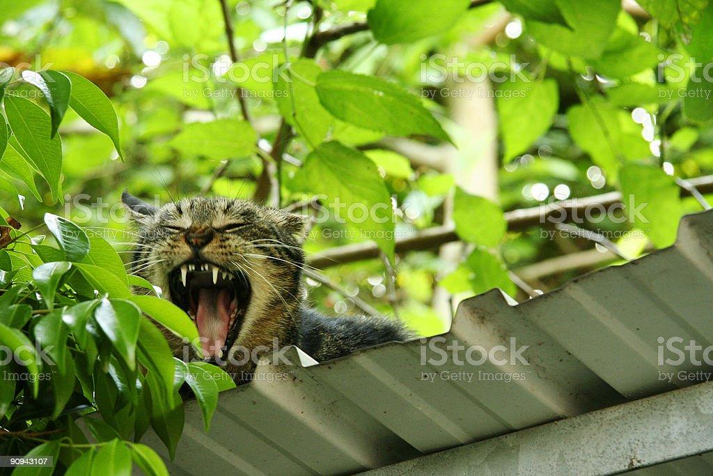 Bostezar Cat foto de stock libre de derechos