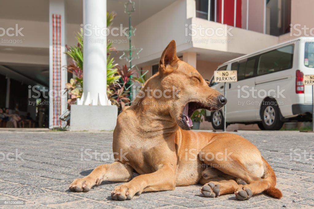 Yawning dog on a pavement near the house stock photo