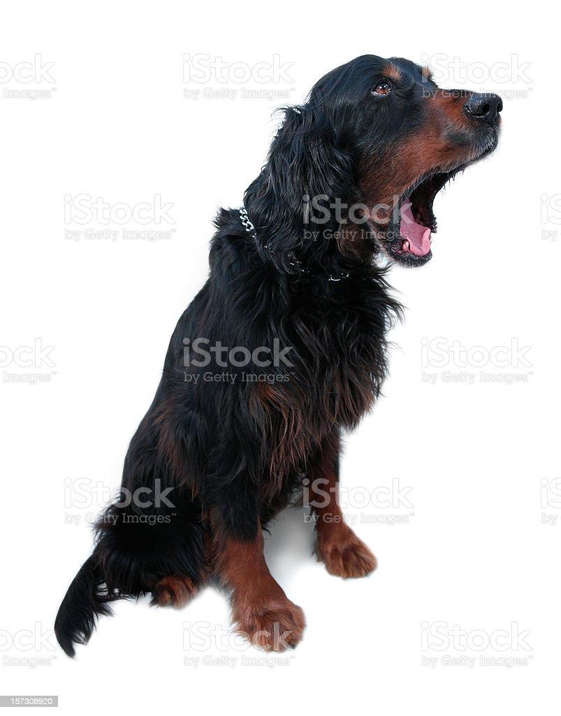 Yawning Gordonsetter stock photo
