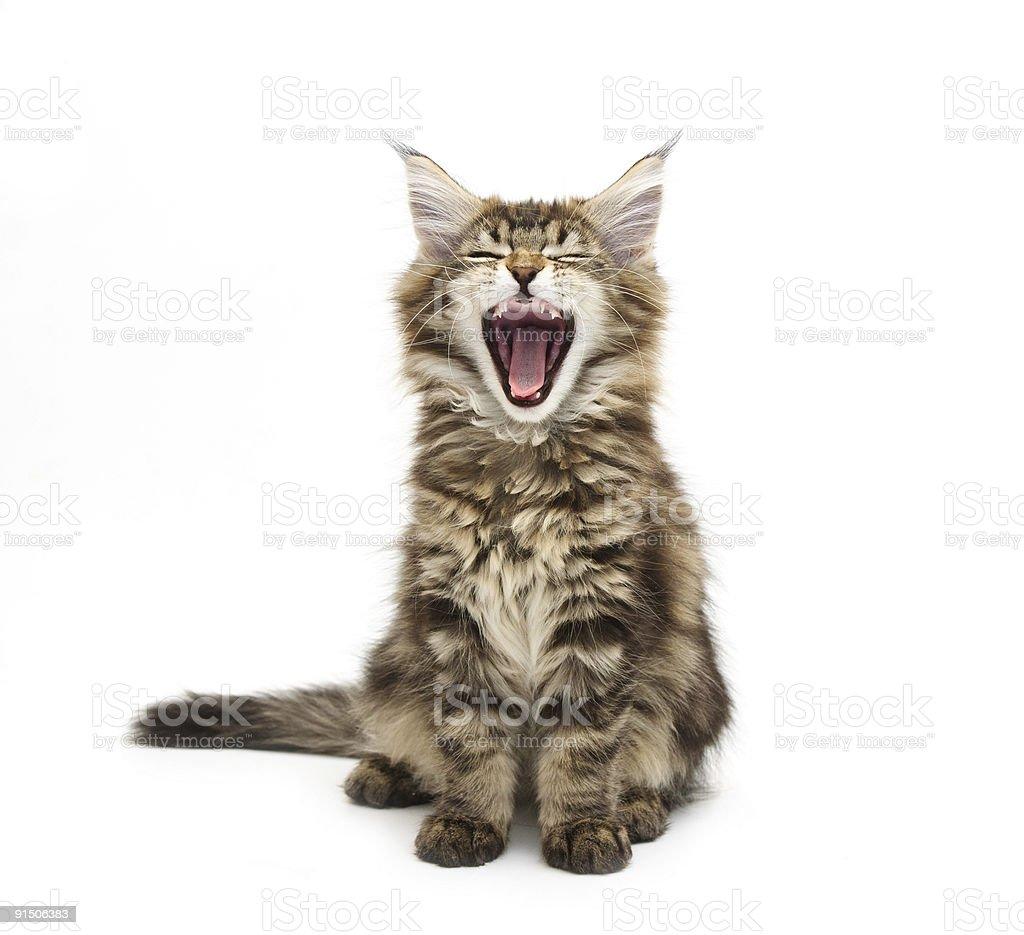yawning maine coon kitten stock photo