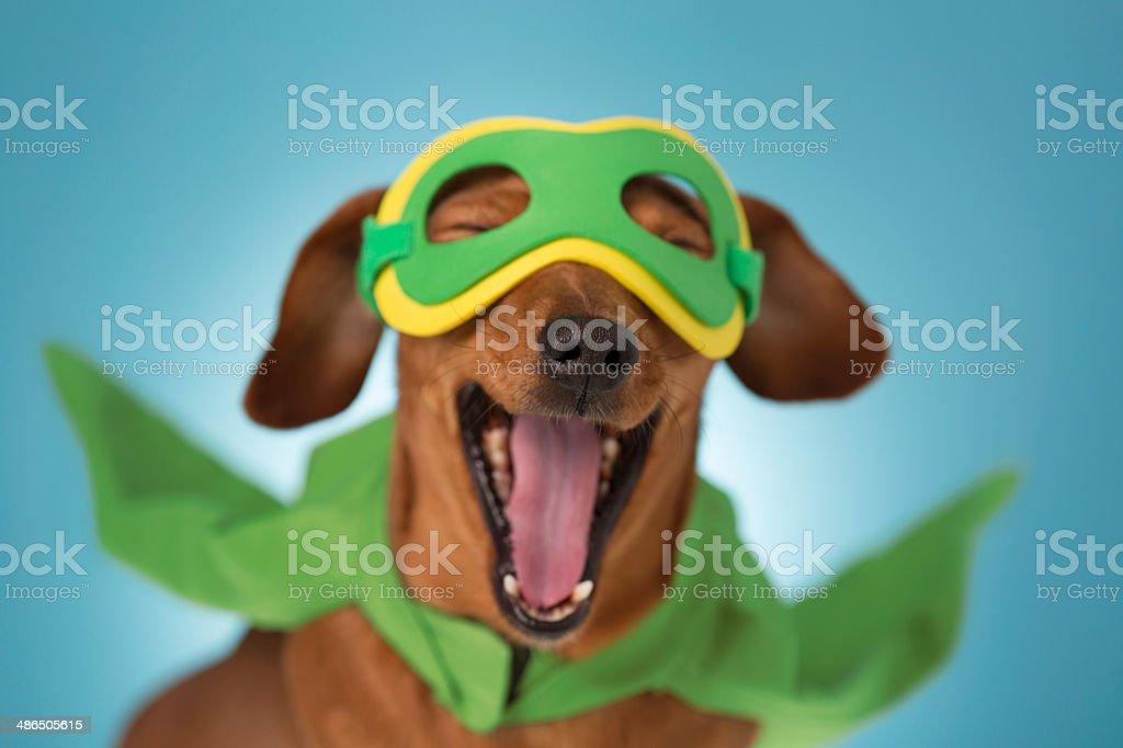 Yawning superhero Dachshund dog stock photo