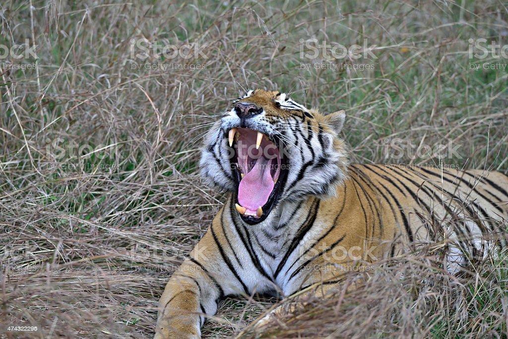Yawning T29 aka 'star male' Ranthambore National Park stock photo